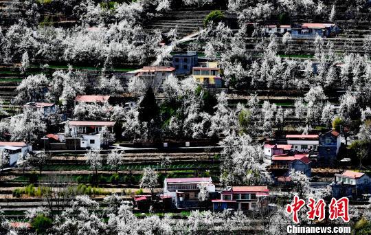 四川金川万亩梨花绽放 不负三月好春光