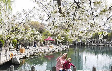 济南五龙潭樱花节开幕 游人如织
