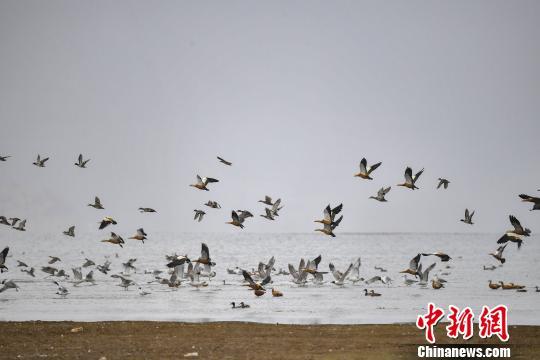 """香格里拉""""绿肺""""纳帕海:修复湿地生态 变身候鸟天堂"""