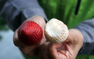 现代科技发展精致农业 新品草莓走俏市场