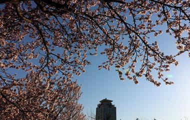 泰山三月春光好 市民赏花兴致高