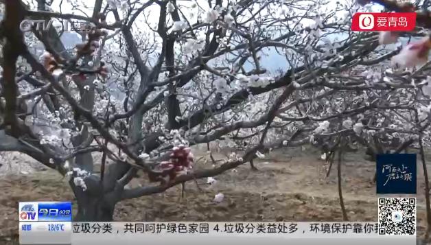 崂山北宅万亩樱桃花初绽四月初将全部盛放(图)