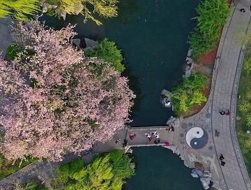 航拍五龙潭公园樱花盛开季 碧水花海恍如童话世界