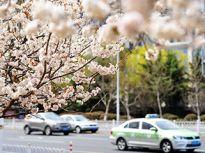 青岛市区樱花盛开 车辆花海中穿行