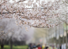 日照市技术学院校园樱花盛开美如画