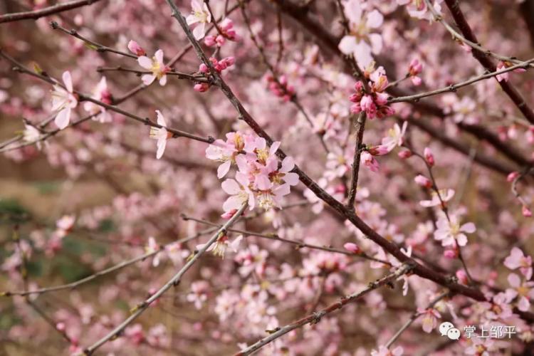 第三届海棠花节近了,近了!花都开好了,就等你来!