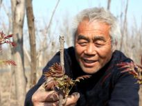 滨州:清明时节 红芽香椿进入采摘期