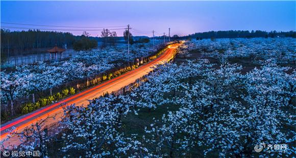 山东枣庄:5000余亩梨花竞相开放