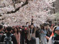 青岛樱花绽放 游客身着汉服成靓丽风景线