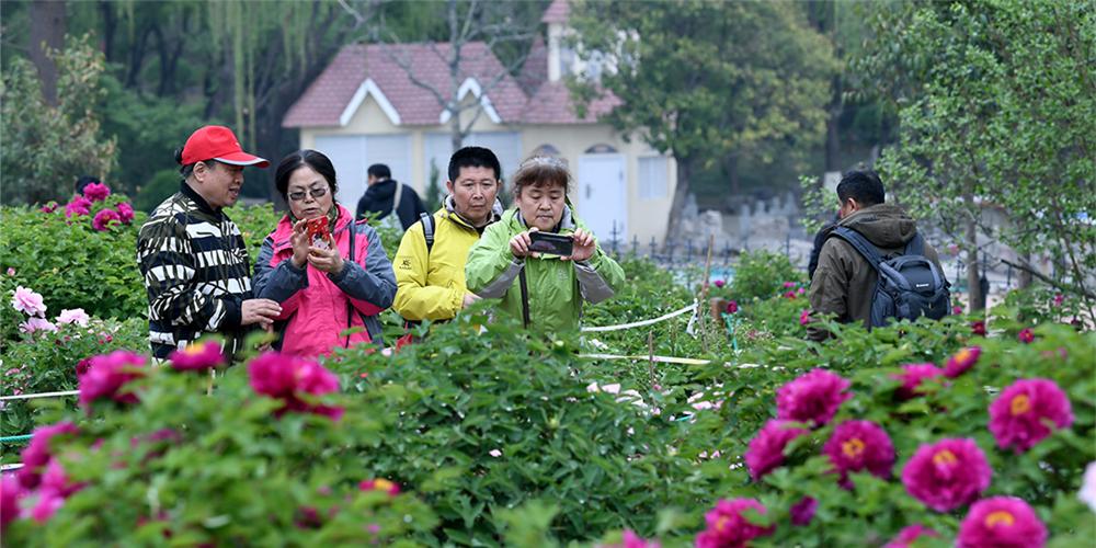 组图|错过今春再等一年!济南泉城公园牡丹花开正艳丽