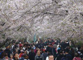 青岛樱花进入盛花期 花开满园游人如织