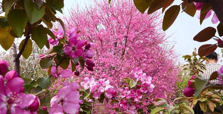 """组图:花海走出""""俏佳人""""!茌平林海花园风景正盛"""