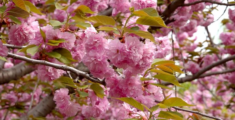 57秒 来聊城看樱花吧!3000余株竞相绽放 早樱如雪晚樱如霞