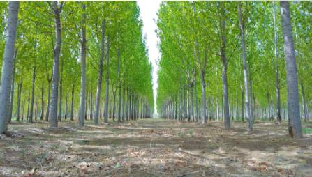 营造多层次绿化效果 4万株无絮白杨开始绿化聊城景区
