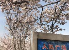 """天气回暖樱花盛开 来看潍坊大片""""樱海"""""""