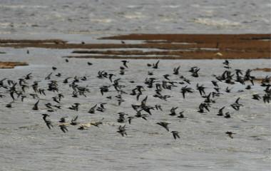 组图:青岛进入候鸟迁徙过境高峰 数百万只过境觅食