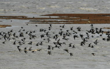 青岛进入候鸟迁徙过境高峰 数百万只过境觅食