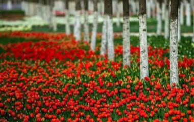 济南这些地方郁金香花开正艳 共赏最美四月天