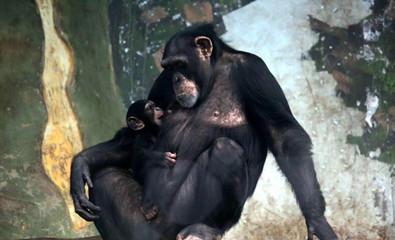 首只在济南繁育成功的黑猩猩与游客见面
