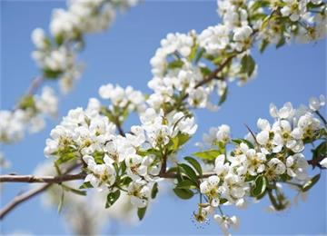 威海南海新区:春风吹过梨花带雨