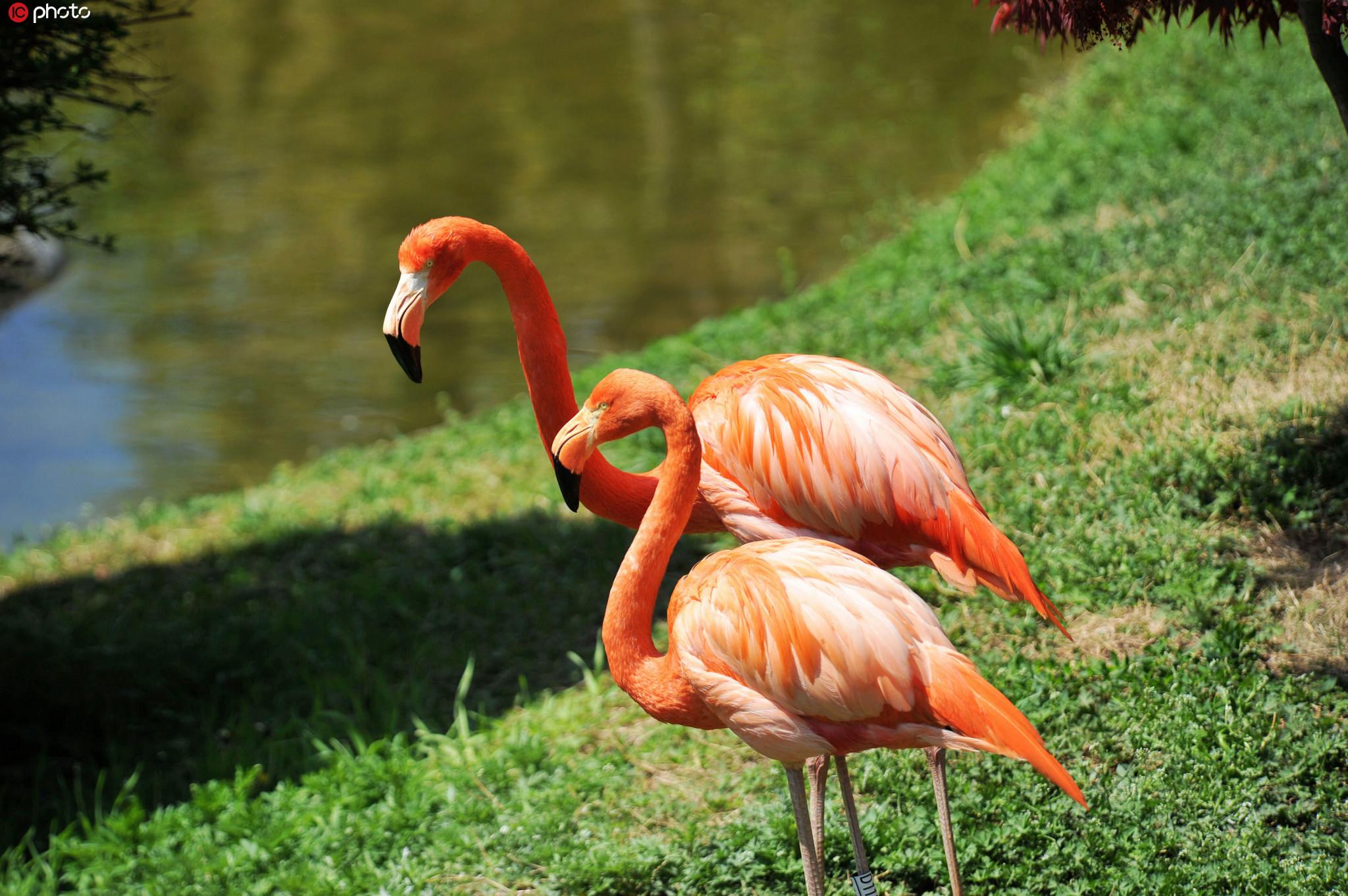 山东青岛全国爱鸟周春光中的火烈鸟