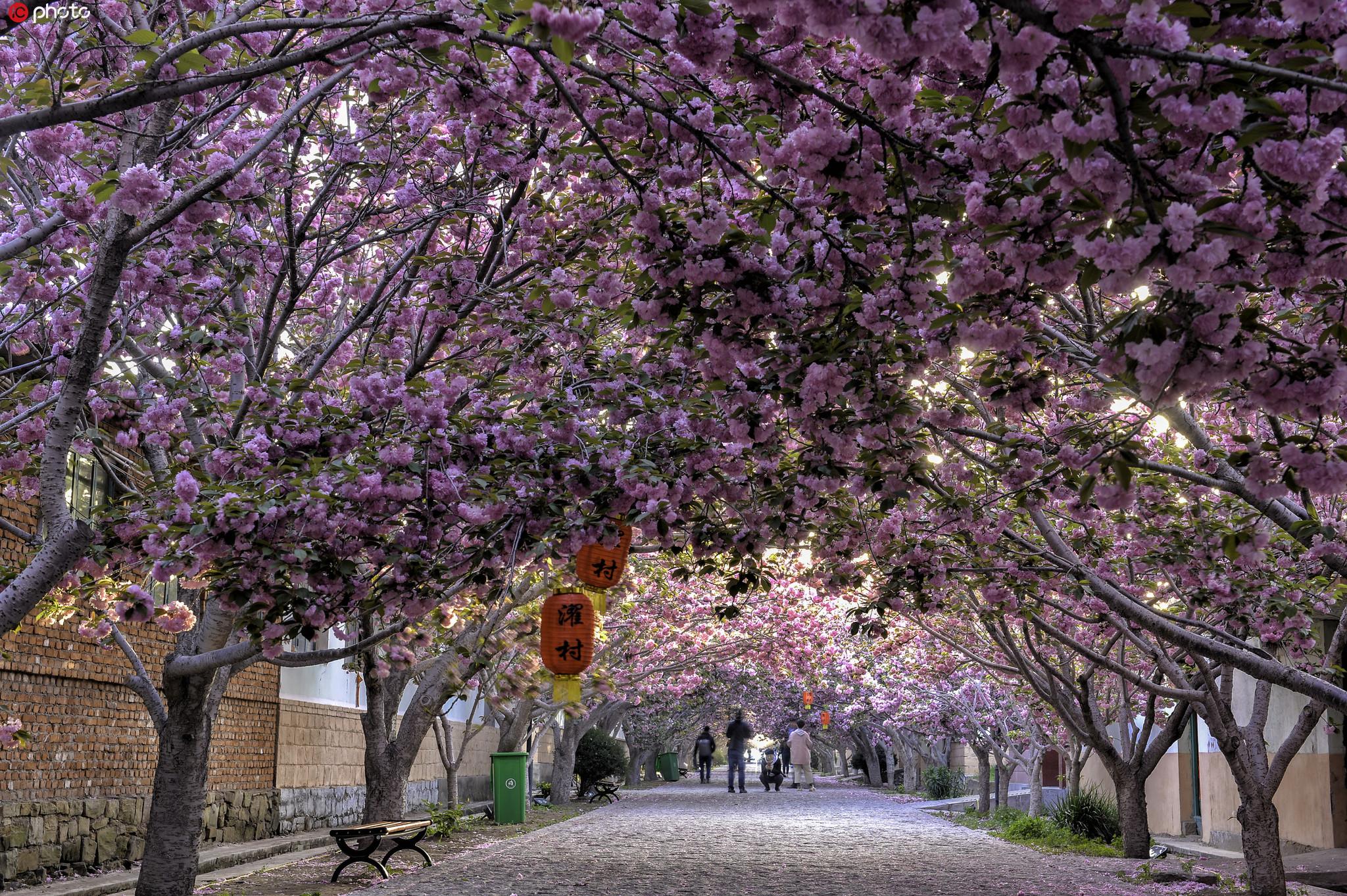山东莱阳:春暖花开 畅游被花海包围的最美乡村