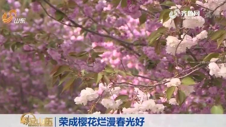 五一小长假去哪玩?《早安山东》播出报道荣成樱花烂漫开放