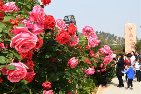 济南平阴6万亩玫瑰进入盛花期 花香四溢引游客沉醉