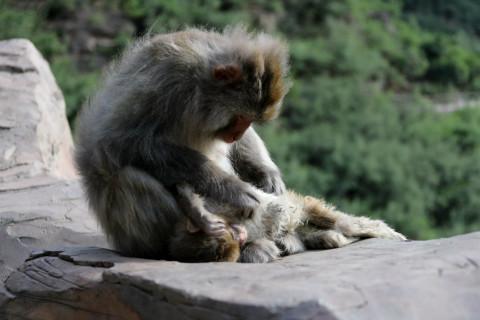 感人母爱!猴妈妈失去猴宝宝抱着孩子尸体不撒手