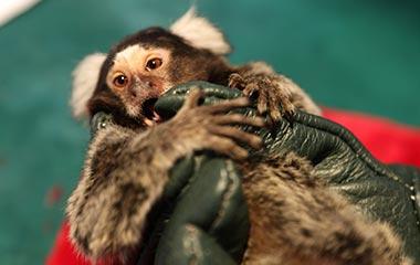 山东口岸首次引进80只非洲狨猴接受检疫 萌态可掬