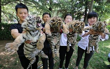 山东潍坊:四只新生虎宝宝集体亮相呆萌模样惹人爱