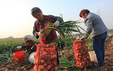 山东临沂:大蒜丰收助增收