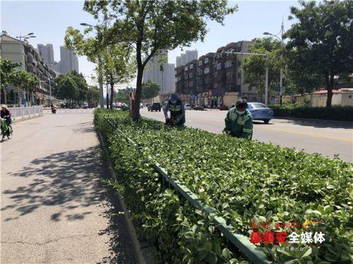 泰安南湖大街冬青生长旺,遮挡行人视线