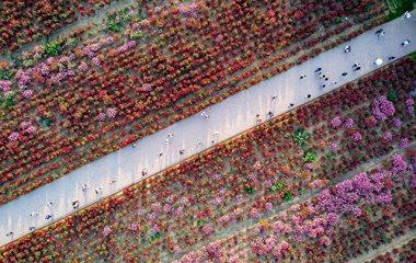 校园十亩鲜花盛开 吸引众多市民前来赏花