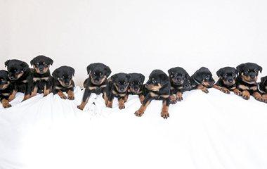 英国一罗威纳犬一次生下16只幼崽创纪录