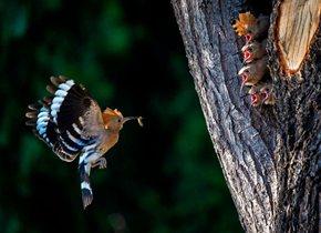 戴胜鸟育雏一次次奔忙 鸟儿们争食更加昂扬