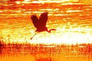 夕阳下的白鹭群