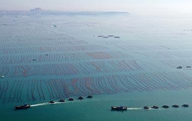 威海:海带收获旺季来临 海上夏收忙