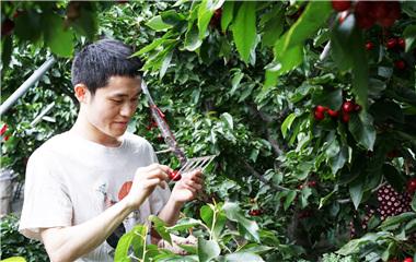 山东大学生帮果农卖樱桃 一个月挣40万