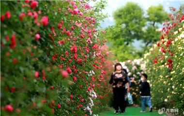 """""""承包""""浪漫 青岛西海岸20万棵玫瑰盛放"""