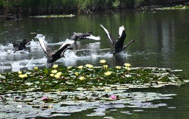 微山湖睡莲花开正艳 野鸭嬉戏野趣十足