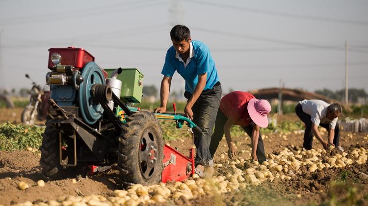 枣庄:农民种植马铃薯喜获丰收 田间一派繁忙