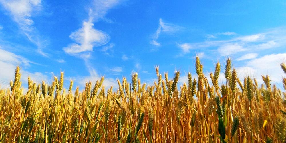 麦浪滚滚!单县小麦进入成熟期,一片金光