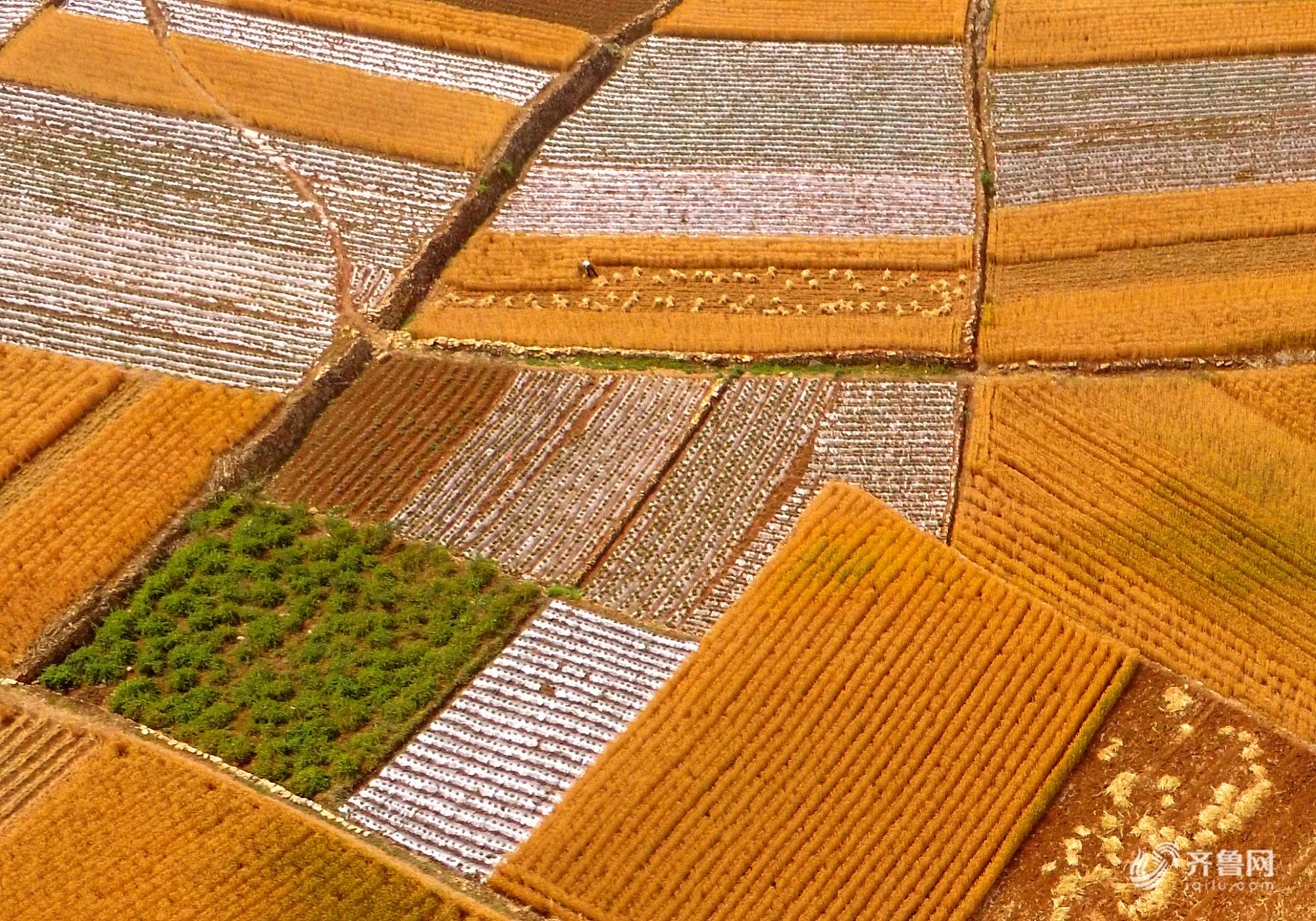 山东临沂:小麦进入收获期 大地上金黄一片