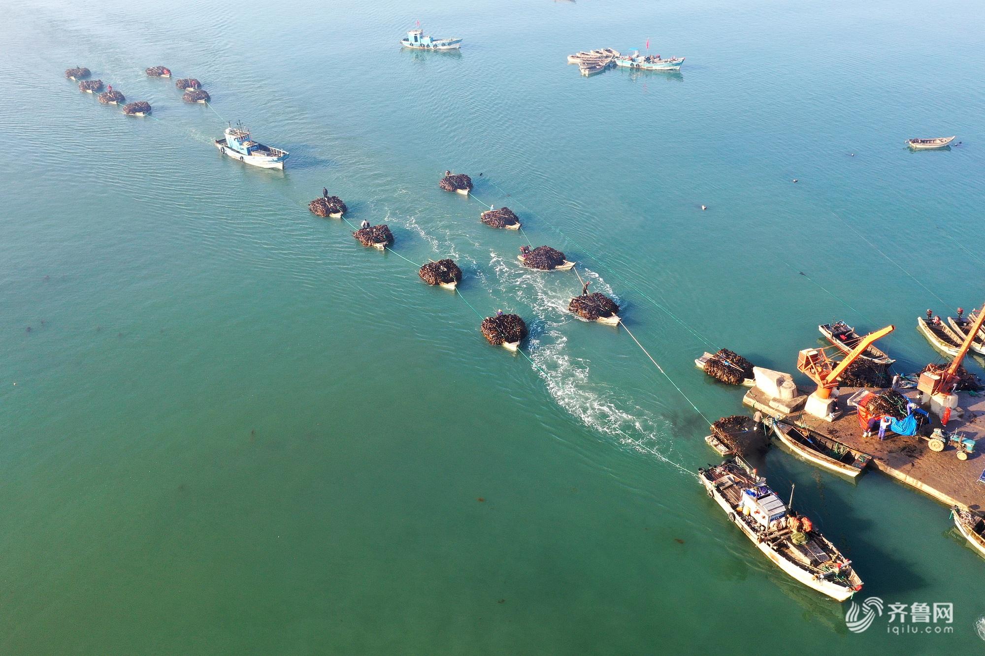 中国港口协会网_海上夏收!山东威海:海带收获忙_热点新闻_图片频道_齐鲁网