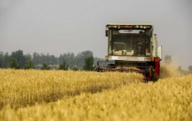 青岛麦浪滚滚丰收来 收割机上阵抢收小麦效率高