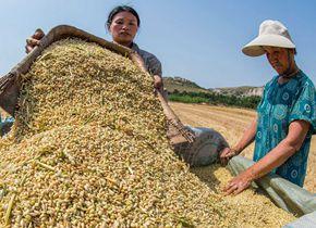 潍坊小麦进入收获期 晴好天气农民收获忙