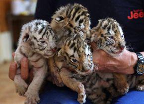 荣成再添四胞胎虎宝 其中一只为珍稀白虎
