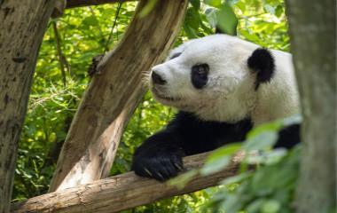 """实拍旅奥大熊猫""""园园""""新生活 在动物园内乖乖啃竹子"""