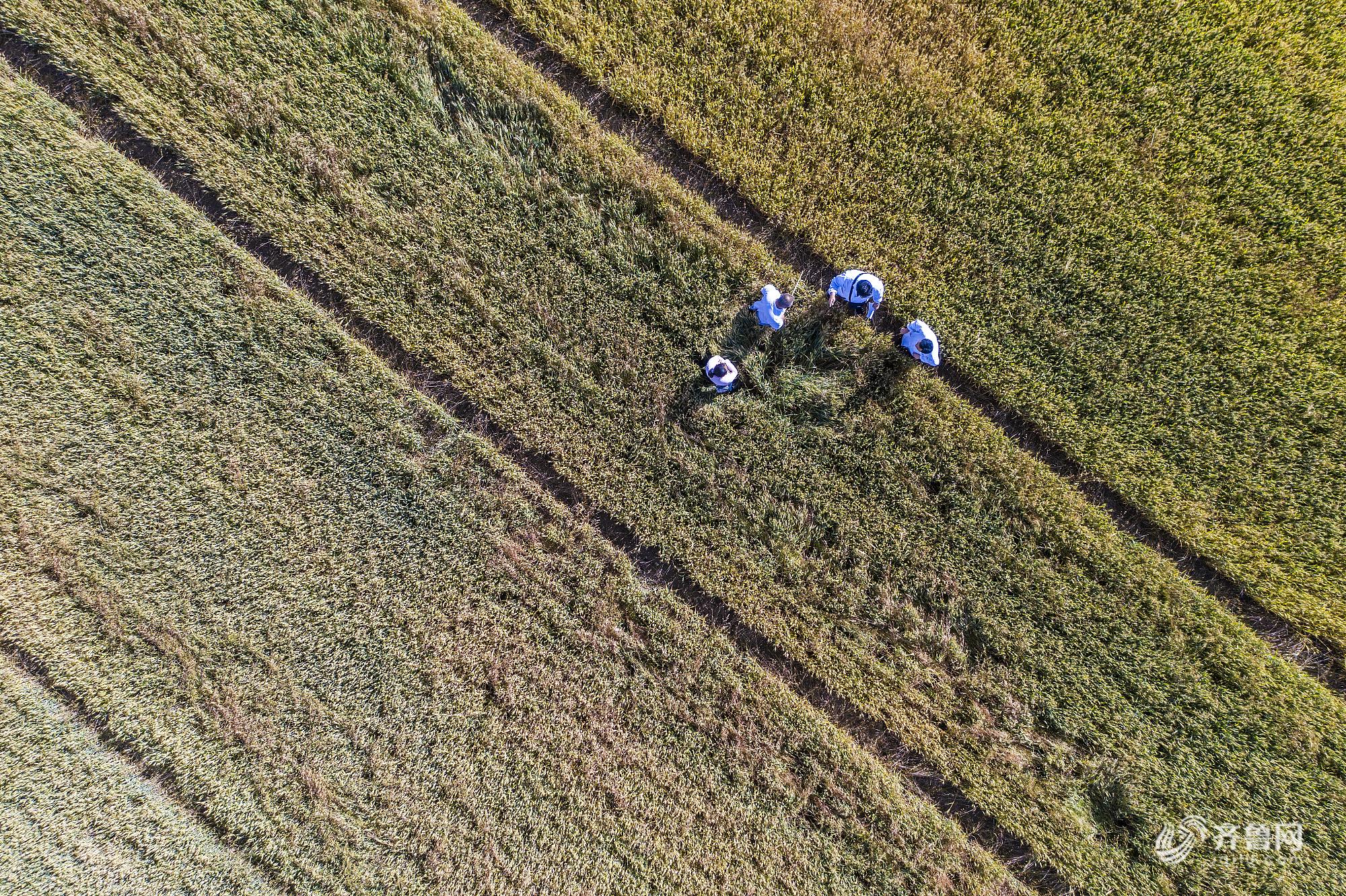 山东滨州:芒种至 风吹麦浪装点金色黄河滩